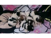 Shihtzu x papillon pups for sale