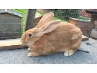 Continental Giant rabbit female