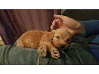 cockapoo boy pup