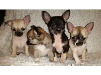 Chihuahua pups for sale 500