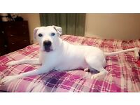 American bulldog looking for forever home