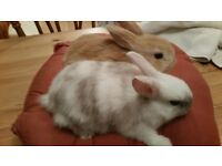 two pretty bonded baby rabbits £40 the pair wolverhampton