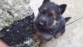 Top class german shepherd pups