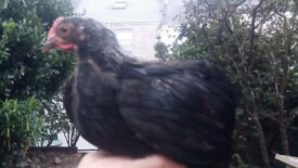 2 Pekin Bantam Cockerels -Free to a good home
