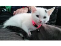 Beautiful tender cuddly white female kitten SOLD Waiting to be picked up