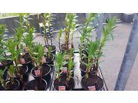 Summer Lilie Pots, Mixed Colours 3 per pot, Lovely Summer colour, 1lt pot, SALE!