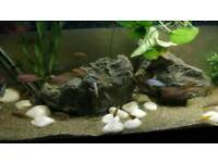 Large variety of cichlids 1-2-3+ inch £3+
