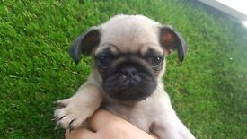Beautiful pug pups ready to leave Friday