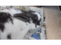 BEAUTIFUL RABBITS FOR SALE FOR FEMALE BOTH £40 OR £25 EACH: COLLECTION ONLY FROM LONDON PLAISTOW