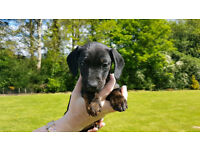 Dachshund short hair black & bundle girl cross with Black and brindle Jack Russell