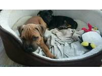 Relisted: 2 staff puppies for sale ready now