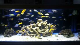 malawi fish and fish tank