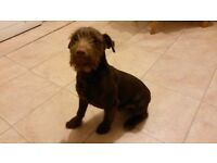 6 months old, chocolate brown, male, Patterdale Terrier