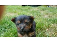 Yorkshire terrier for sale to good home