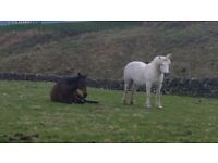 Highland pony for part share