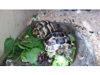 2 tortoises with large table