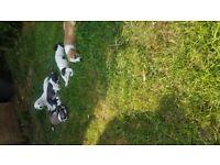 Beautiful mini jack russel pups for sale
