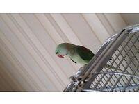 Parrot for sale (Indian Ringneck)