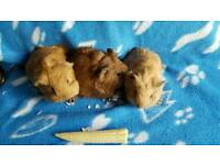 Gorgeous baby guinea pigs boys