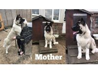 Akita Puppies For Sale - Ready To Leave 24th December