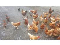 30 hybrid hens for sale