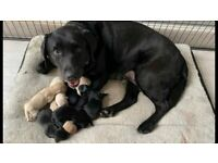 Labrador puppies for sale, used for sale  Basingstoke, Hampshire