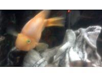 LARGE PARROT FISH