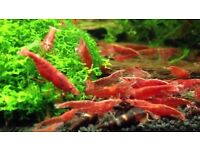 "Red Cherry Shrimp ""Neocaridina heteropoda"" (Algae eater) + Live plants Free"