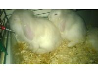 baby lop and lion lop rabbits very tame and handled daily, males and females