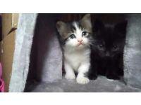 Male Tabby Kitten (born 26/07/17)