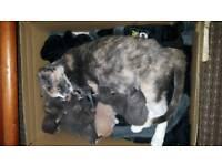 Half pedigree kittens