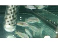 Mixed Cichlids For Sale