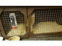 albino female ferret