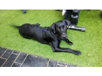 Pedigree 6 months black male 650 labrador retriever Kennel Club