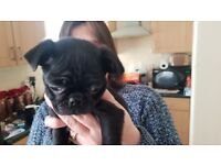 BLACK PUG PUPPY FOR SALE