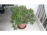MONEY (JADE)PLANT IN EXCELLENT HEALTHY CONDITION