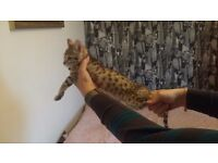 F7 Full-Pedigree Kitten with Papers - Nearest Offer