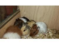 Various guinea pig babys