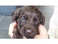 2 Gorgeous chocolate sprocker pups for sale. (Dog's)