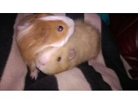 Two young male guinea pigs