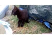 Male black tabby kitten vet checked