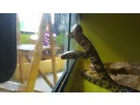 Desert King Snake £49.99