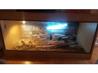 2 female bearded dragons and vivarium for sale