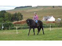 Dark Bay, 16.2 Gelding, Ex Race horse For sale. Weatherby Passport. 13 years old.