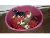 7mnth old female chihuahua 'poppy'
