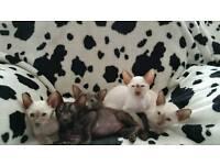 Very cute pedigree Siamese kittens