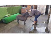 Minature shetland ponies late last year foals