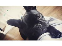 9 month old female french bulldog