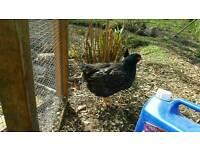 Barnvelder chicks cockeral