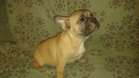 Beautiful French Bulldogs for sale!